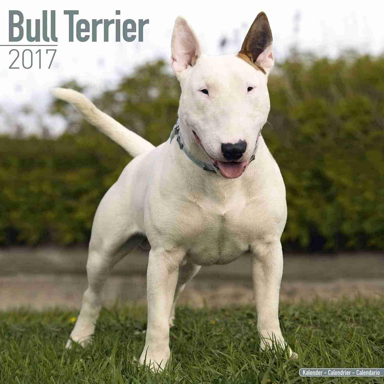 Bull Terrier Dog Breed: photos, features, description 72