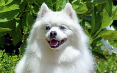 American Eskimo Dog –  Dog Breed of The Week