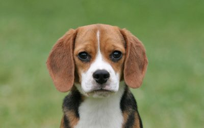Beagle – Dog of the Month