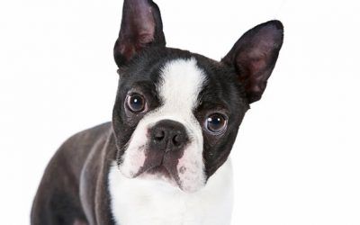 Boston Terrier Dog –  Dog Breed of The Week