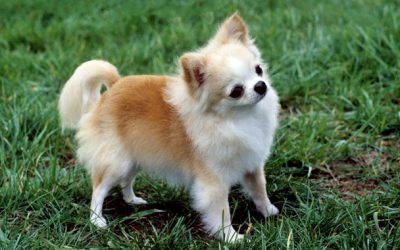 Chihuahua –  Dog Breed of The Week