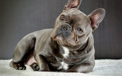French Bulldog – Dog Breed Of The Month