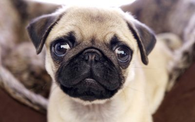 Pug – Dog Breed Of The Month