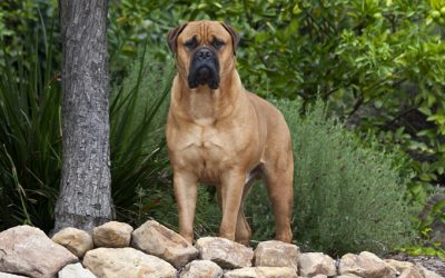 Bullmastiff –  Dog Breed of The Week