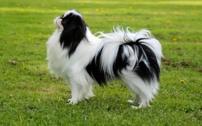 Japanese Chin –  Dog Breed of The Week