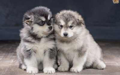 Alaskan Malamute – Dog Breed of The Month