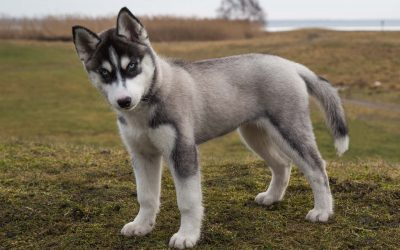 Siberian Husky – Dog Breed of The Month