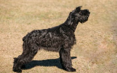 Giant Schnauzer –  Dog Breed of The Week